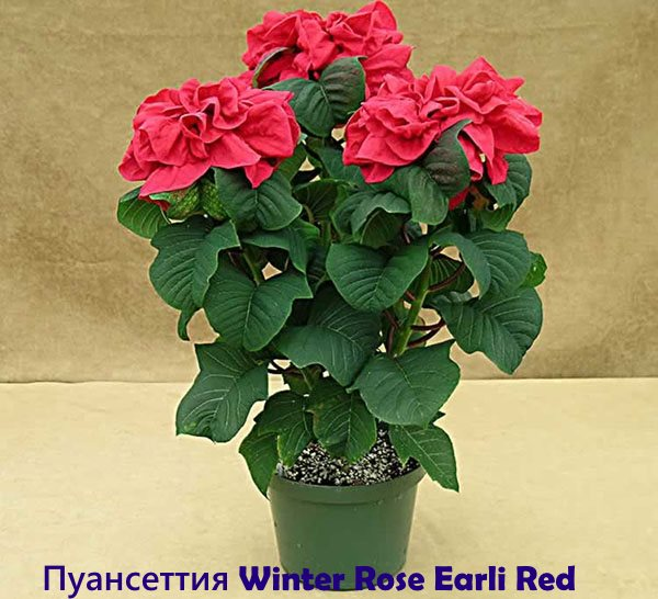Poinsettia Winter Rose Early Red