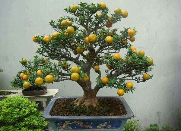 bonsai limun
