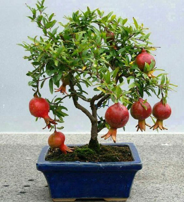 bonsai granata