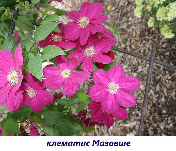 Clematis mazovshe