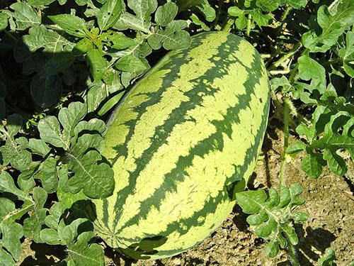 Позднеспелые арбузы хранятся в свежем виде до 5 месяцев