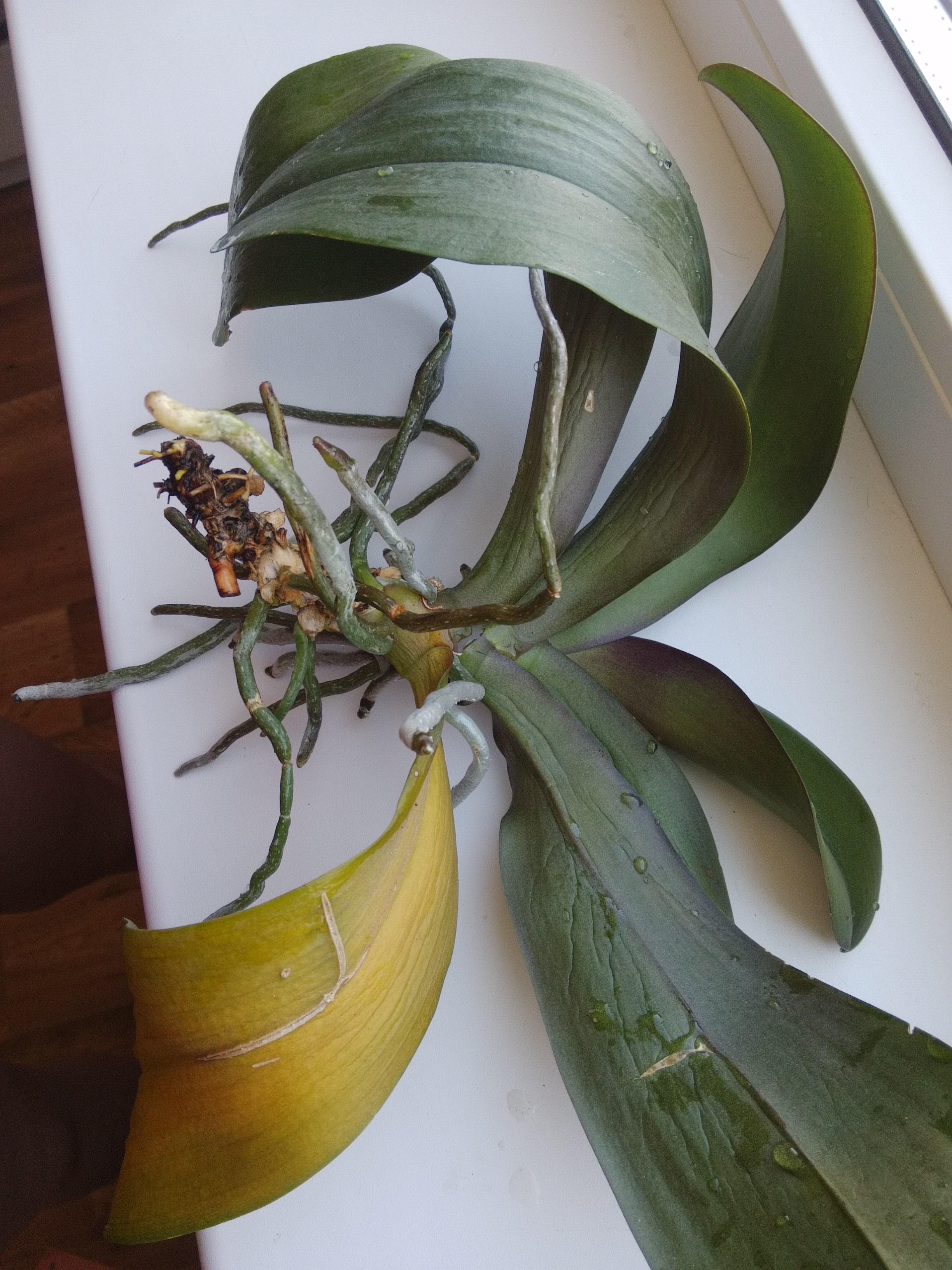 любое как спасти орхидею картинка пошаговое