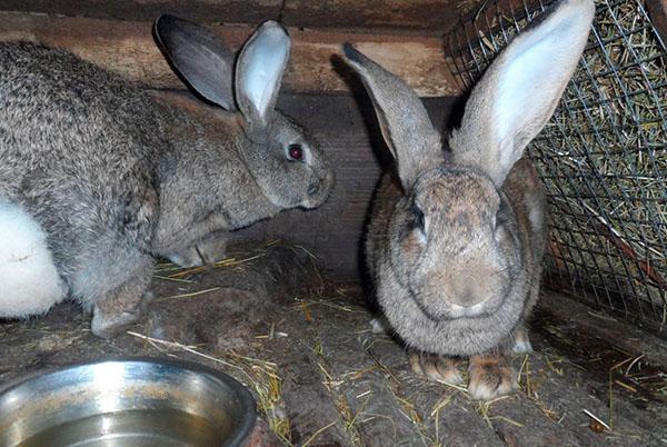 De ce iepurele meu pierde în greutate Doar iepuri