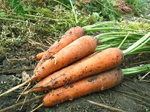 morcovi pentru creșterea penisului penis la nevoie