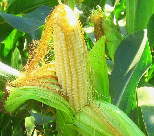 Greutate cereale grâu pierde