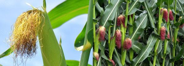 можно собирать кукурузные рыльца