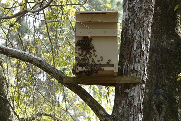 Размещение ловушки для пчел на дереве