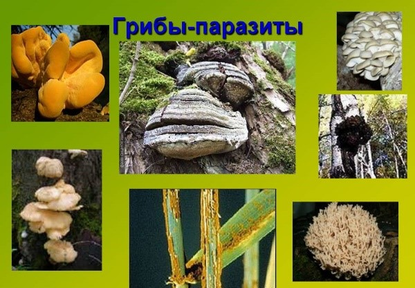 tratamentul paraziților cu ciuperci