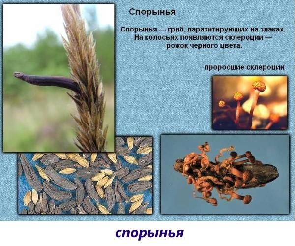 ciuperci sub formă de paraziți)