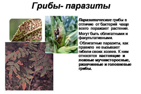Tratamentul ciupercilor și paraziților din organism