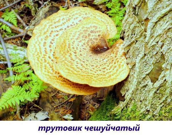 ciupercile sunt paraziți umani tratamentul papilomului oral