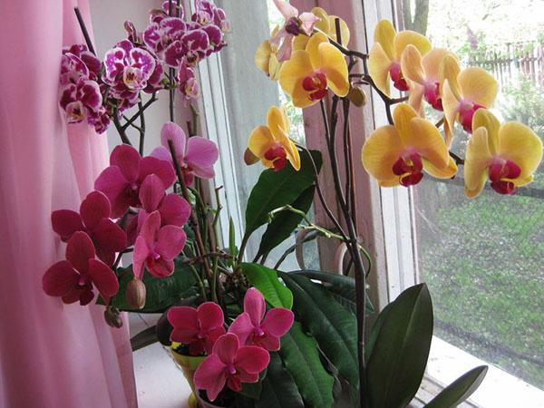 Phalaenopsis Orchid - Fluturele fluture are nevoie de îngrijire specială
