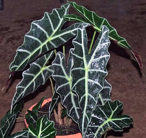 Alocasia Amazon