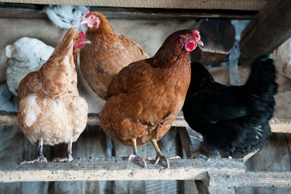 De ce nu găinile au găini, ce să facă, ce să hrănești?