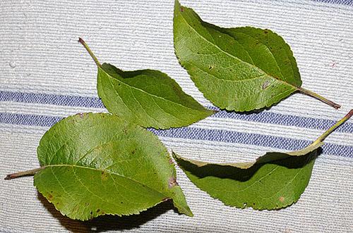 slimmarea frunzelor de ceai