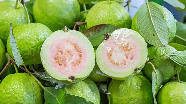 guava frunze de copac pentru pierderea în greutate)