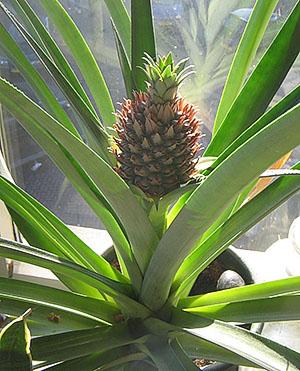 Hva Betyr Ananas I Vinduet