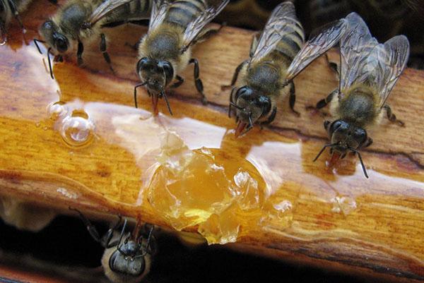Kokia yra būtinybė pavasarį maitinti bites?