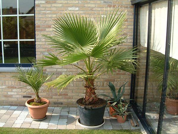 palma penisa palm